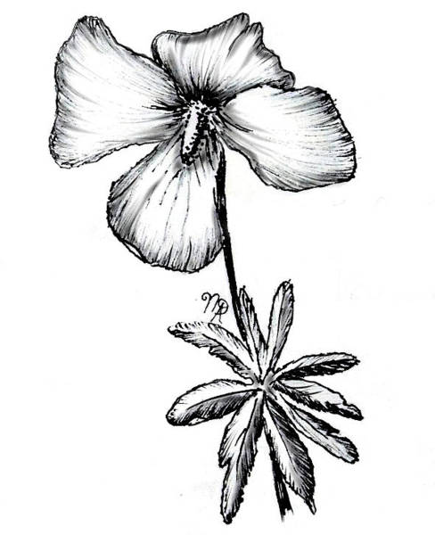 Drawing - Birdsfoot Violet by Nicole Angell