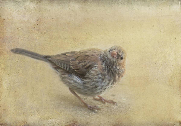 Photograph - Sweet Sparrow by Marilyn Wilson