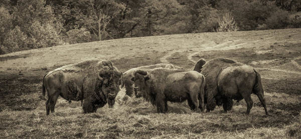Photograph - Bison 1 - Pano by Joye Ardyn Durham