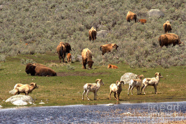 Photograph - Bison And Bighorn Spring Picnic by Adam Jewell