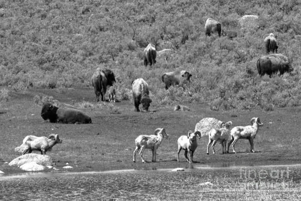 Photograph - Bison And Bighorn Spring Picnic Black And White by Adam Jewell