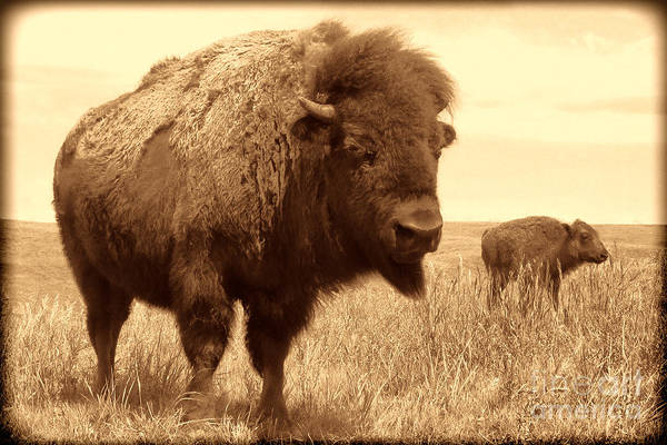Photograph - Bison And Calf by American West Legend By Olivier Le Queinec