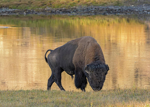 Photograph - Bison At The Yellowstone River by Loree Johnson