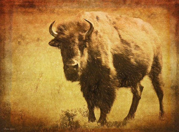 Photograph - Bison Bull On The Range by Anna Louise
