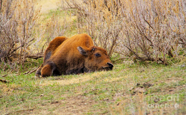 Wall Art - Photograph - Bison Calf Tuckered Out by Jeff Swan