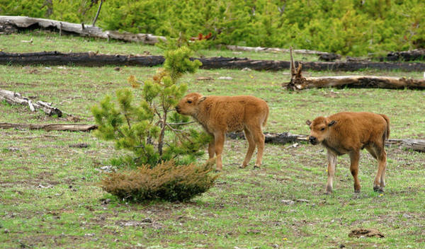 Photograph - Bison Calves by Ronnie and Frances Howard