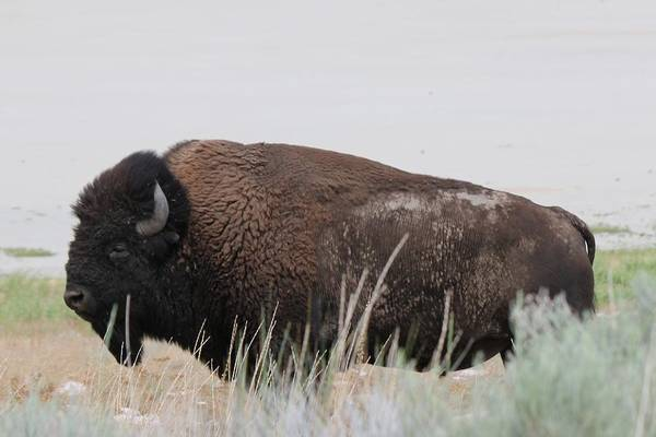 Photograph - Bison  by Christy Pooschke