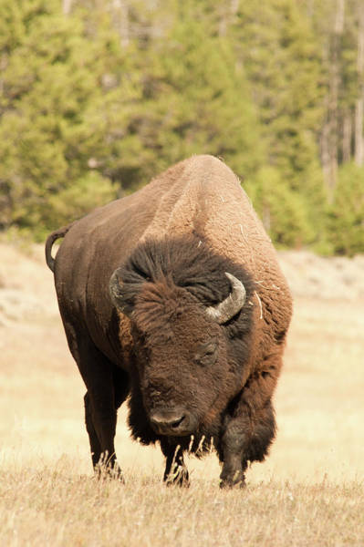 Photograph - Bison by Corinna Stoeffl, Stoeffl Photography