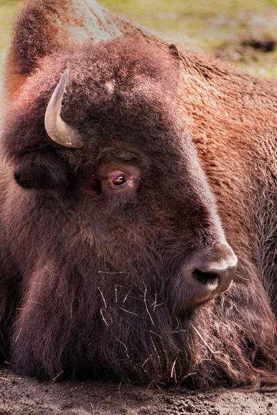 Photograph - Bison by Don Johnson