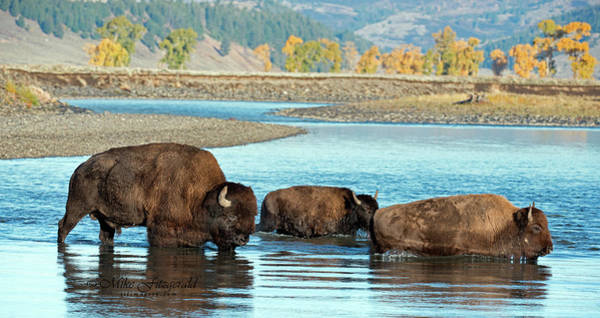 Photograph - Bison Family by Mike Fitzgerald