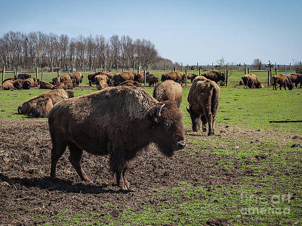 Photograph - Bison Farm by Ann Jacobson