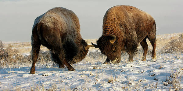 Digital Art - Bison Fighting By Olena Art  by OLena Art - Lena Owens