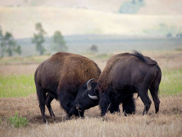 Photograph - Bison Fighting by Michael Chatt