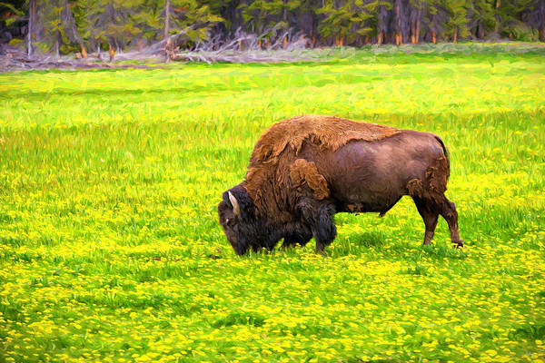 Photograph - Bison Grazing In The Flowers by Greg Norrell