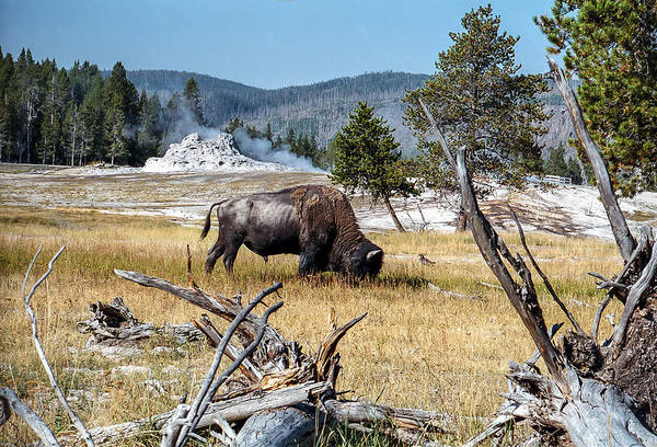 Photograph - Bison Grazing Near Castle Geyser Yellowstone National Park by NaturesPix