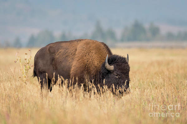 Photograph - Bison Grazing by Paul Quinn