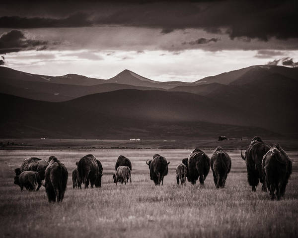 Photograph - Bison Herd Into The Sunset - Bw by Chris Bordeleau