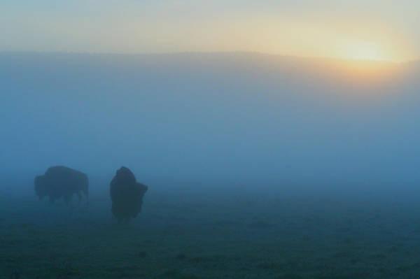 Bison Photograph - Bison In The Mist by Ryan Scholl