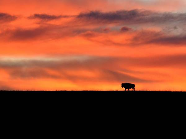 Photograph - Bison In The Morning Light by Keith Stokes