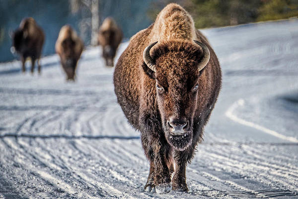 Photograph - Bison In The Road - Yellowstone by Stuart Litoff