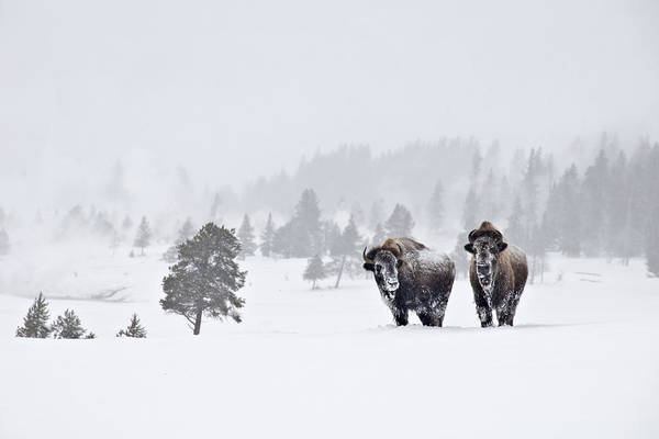 Photograph - Bison In The Snow by Gary Lengyel