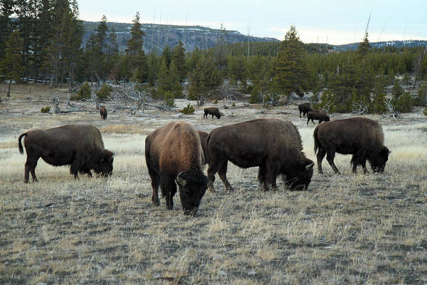 Photograph - Bison In Yellowstone by Pierre Leclerc Photography