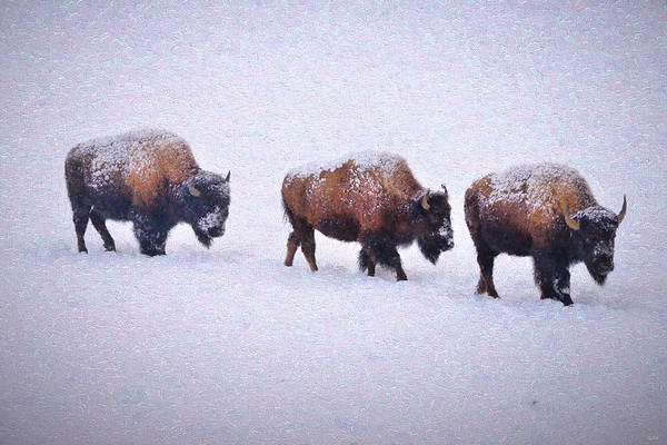 Photograph - Bison March Impressions by Greg Norrell