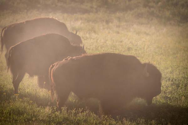 Wall Art - Photograph - Bison Morning Mist Yellowstone by Steve Gadomski