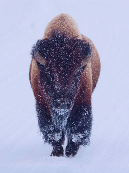 Digital Art - Bison Moving Through The Snow In Yellowstone National Park by OLena Art - Lena Owens