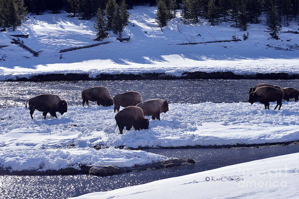 Photograph - Bison On River Strand Landscape by Kae Cheatham