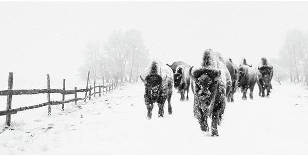 Photograph - Bison On The Run by Andrea Kollo
