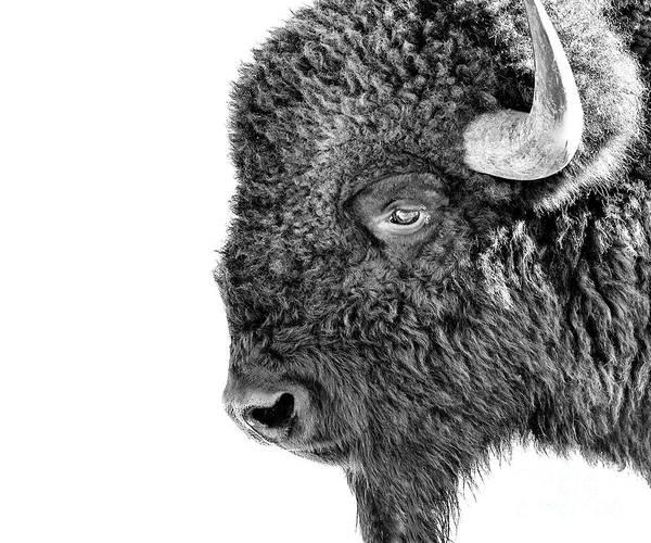 Photograph - Bison Portrait by Al  Mueller