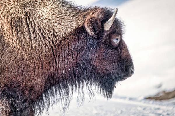 Photograph - Bison Profile - Yellowstone by Stuart Litoff