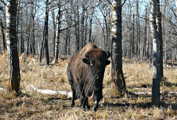 Photograph - Bison by 'REA' Gallery