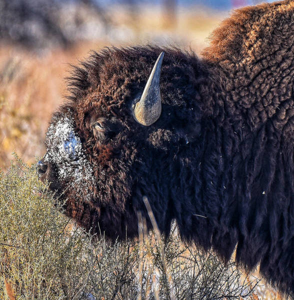 Photograph - Bison by Rand