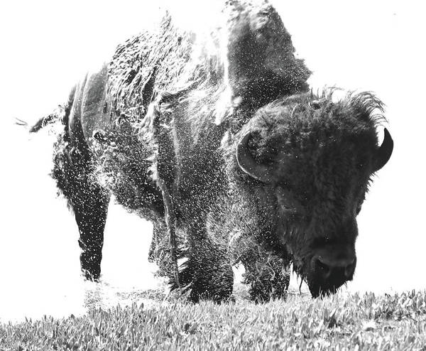 Photograph - Bison Splashing Black And White by Dan Sproul