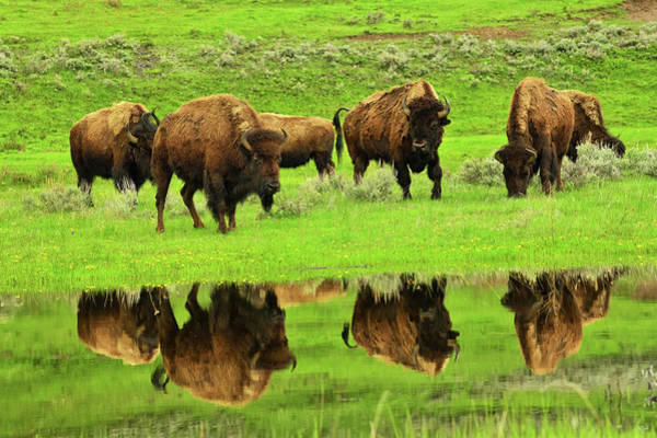 Photograph - Bison Spring Reflections by Greg Norrell