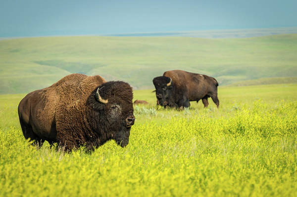 Photograph - Bison by Tracy Munson