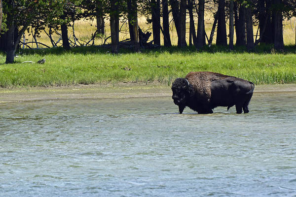 Photograph - Bison Wading In Yellowstone River by Bruce Gourley