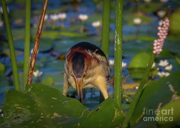 Photograph - Bittern Breakfast by Tom Claud