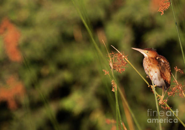 Ixobrychus Photograph - Bittern In The Brush by Ruth Jolly
