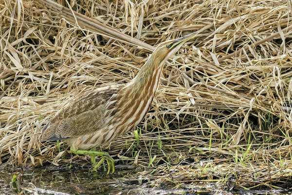 Photograph - Bittern On The Hunt by Wes and Dotty Weber