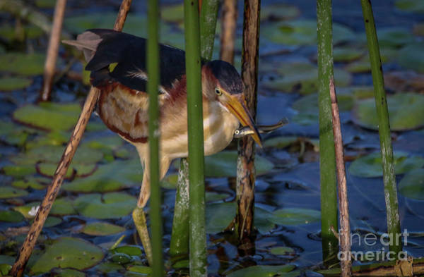 Photograph - Bittern With Minnow by Tom Claud