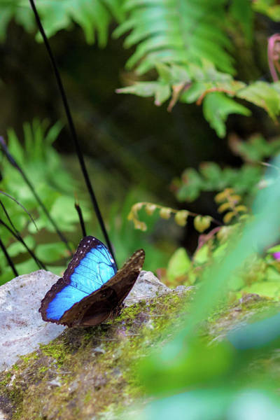 Photograph - Black And Blue Butterfly by Raphael Lopez