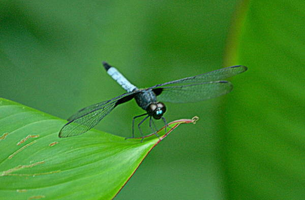 Brillante Photograph - Black And Blue Dragonfly by HQ Photo