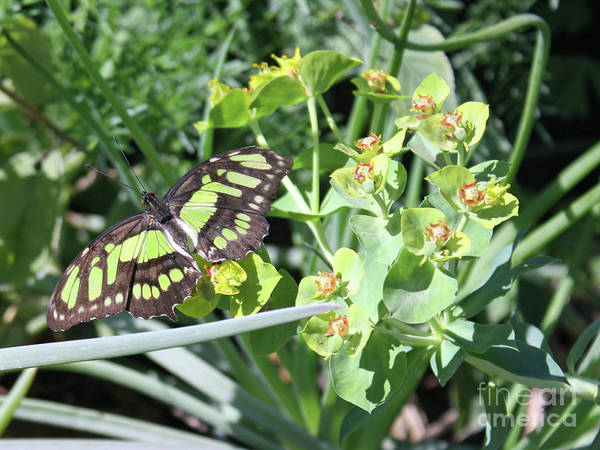 Photograph - Black And Green Butterfly by Kelly Holm