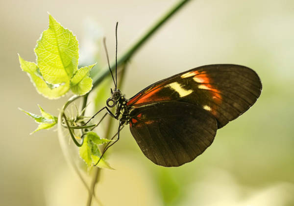 Photograph - Black And Red Butterfly On The Leaf by Jaroslaw Blaminsky