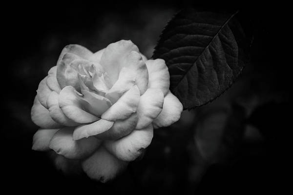 Photograph - Black And White Aged Rose 3410 Bw_2 by Steven Ward