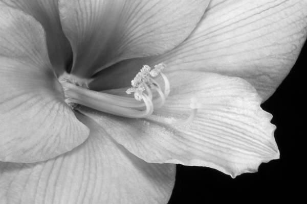 Photograph - Black And White Amaryllis Bloom by James BO Insogna