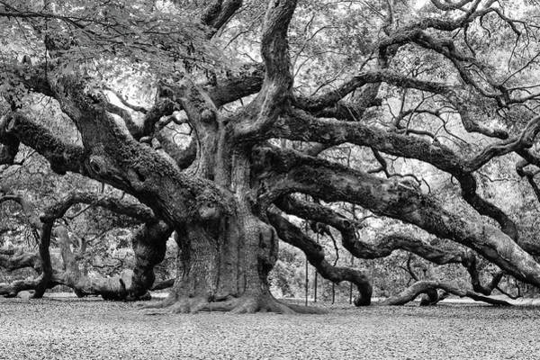 Photograph - Black And White Angel Oak Tree by Louis Dallara